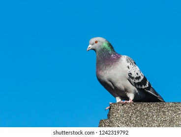 A shot of a feral pigeon standing on the rooftop of a building,