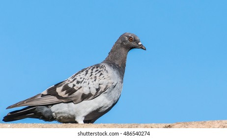 A shot of a feral pigeon standing on a rooftop.