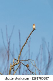 A shot of a goldfinch perched at the top of a tree.