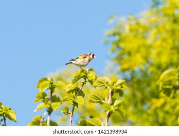 A shot of a goldfinch at the top of a tree.