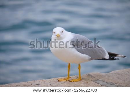 Shot of herring seagull on the coast of Croatia