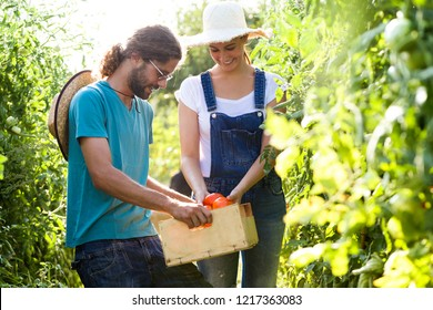 Shot of horticulturist couple harvesting fresh tomatoes and putting on a basket from the garden.