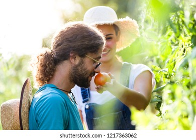 Shot of horticulturist young couple harvesting fresh vegetables and smelling tomatoe from the garden.