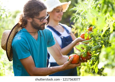 Shot of horticulturist young couple harvesting fresh tomatoes and taking care the garden.