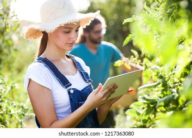 Shot of horticulturist young couple harvesting fresh tomatoes and planning harvest season on a digital tablet in the garden.