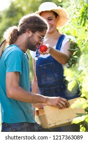 Shot of horticulturist young couple harvesting fresh vegetables and putting on a basket and smelling tomatoe from the garden.