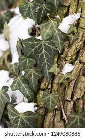 A shot of an ivy plant in winter. Background
