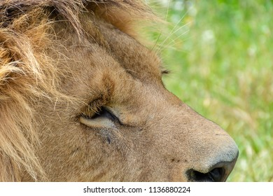 A shot from a male lions head with the meadow in the background.