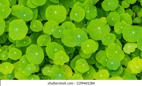 A shot of a mass of healthy looking green nasturtium leaves.
