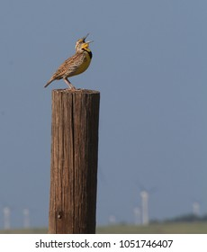 A shot of a Meadow Lark singing on a wooden post with blue sky in the back ground that's bright and colorful.