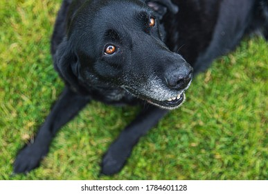 Shot of an Old black labrador looking up