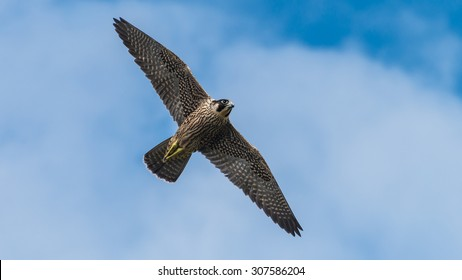 A shot of a peregrine falcon flying through a cloudy blue sky.