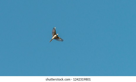 A shot of a pied wagtail bird flying through a blue sky.