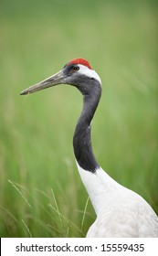 A shot of portrait of red-crowned crane.