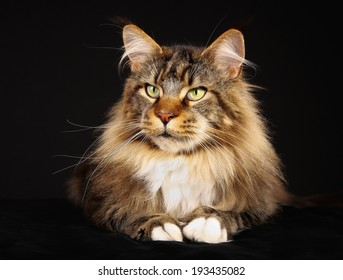 Shot of purebred domestic cat on black background.
