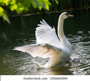 Shot in Reading,UK. Swan flaps her wings giving a super animal figure protecting its little ones