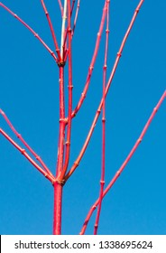 A shot of the red branches of an acer palmatum tree.