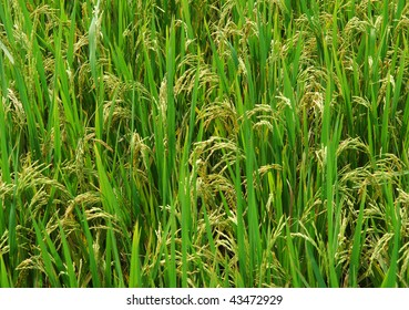shot of rice field and drops more in my portfolio