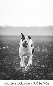 Shot of running border collie