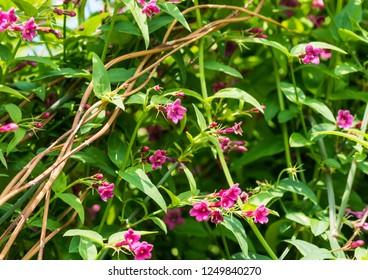 A shot of some Jasminum beesianum blossom.
