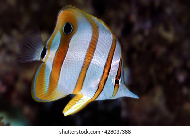 A shot of a specimen of copperband butterflyfish or beaked coral fish