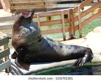 Shot of a steller sea lion yawning.