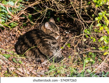 A shot of a tabby cat resting below a hedge.