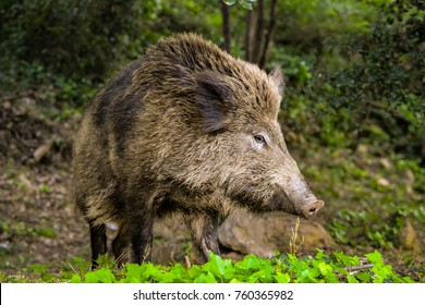 A shot taken of a wild pig in the wild of Spain.