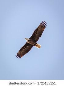 Shot this photo of a Bald Eagle in flight over a park near Iowa City, Iowa, USA!