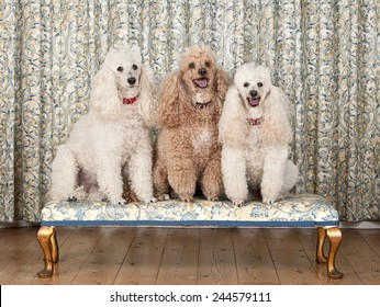 Shot of Three Miniature Poodles on Bench
