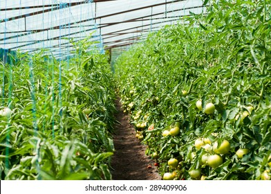 A shot of tomato plants growing inside a greenhouse