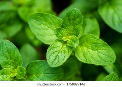 A shot of a twig of an oregano plant, known as sweet marjoram or wild marjoram