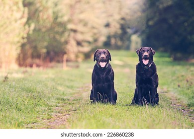 Shot of Two Chocolate Labradors on Forest Path