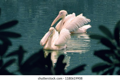 Shot of Water Birds known as Pelicans,  looks very beautiful in their rosy skin and delicate wings.