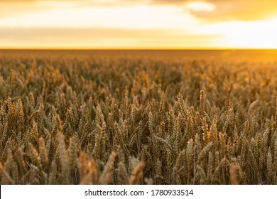 Shot of a Wheat field at sunset