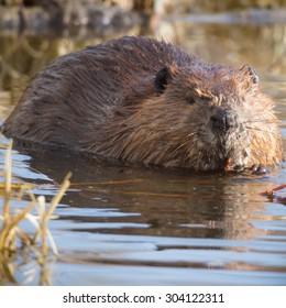shot of a wild beaver near lake, nature series