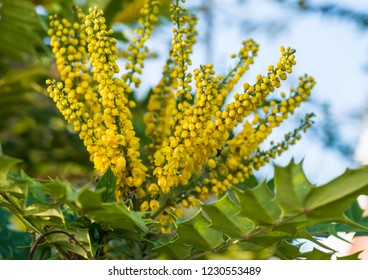 A shot of the yellow blossom of a mahonia japonica bush.
