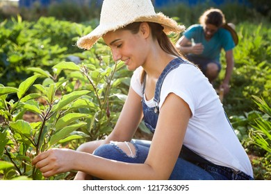 Shot of young horticulturist couple harvesting fresh vegetables in the garden.
