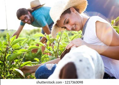 Shot of young horticulturist couple harvesting fresh vegetables with dog company in the garden.