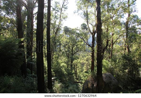 Shots of an Australian Mountain Ash forest