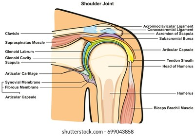Shoulder Joint of Human Body Anatomy infographic diagram with all parts including bones ligaments muscles bursa cavity capsule cartilage membrane for medical science education and health care
