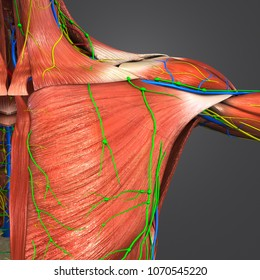 Shoulder muscles with arteries veins nerves and lymph nodes anterior view 3d illustration