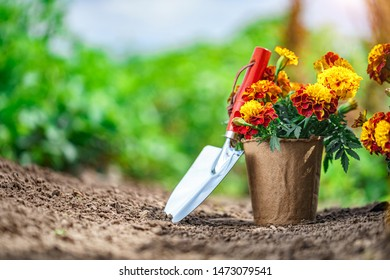Shovel and pot with marigold flowers for planting in home garden. Gardening and floriculture. Flower care. Copy space