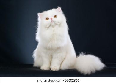 Show Champion white Persian on black background