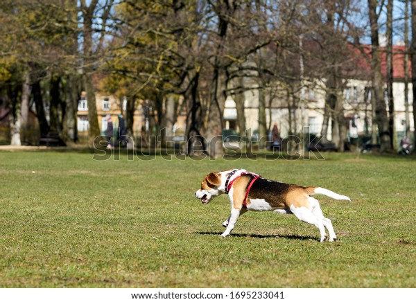 Show dog of breed of beagle on a natural green background