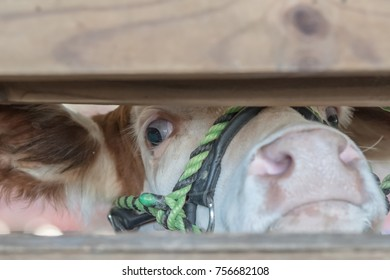 Show heifer peeks out between the slats in a fence