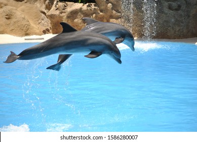 Show. Jumping gray dolphins in the pool.