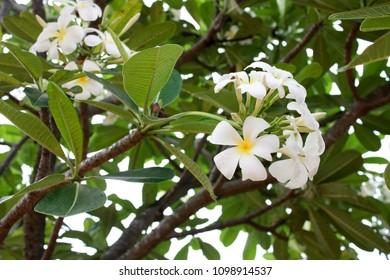 Show Plumeria Flowers