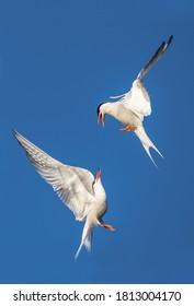 Showdown in the sky. Common Terns interacting in flight. Adult common terns in flight on the blue sky background. Scientific name: Sterna hirundo