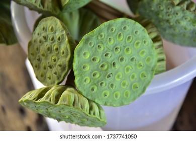 Shower head seed pod, Lotus Flower close up